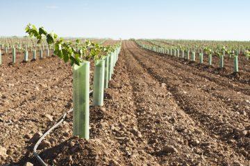 Plantación del pistacho